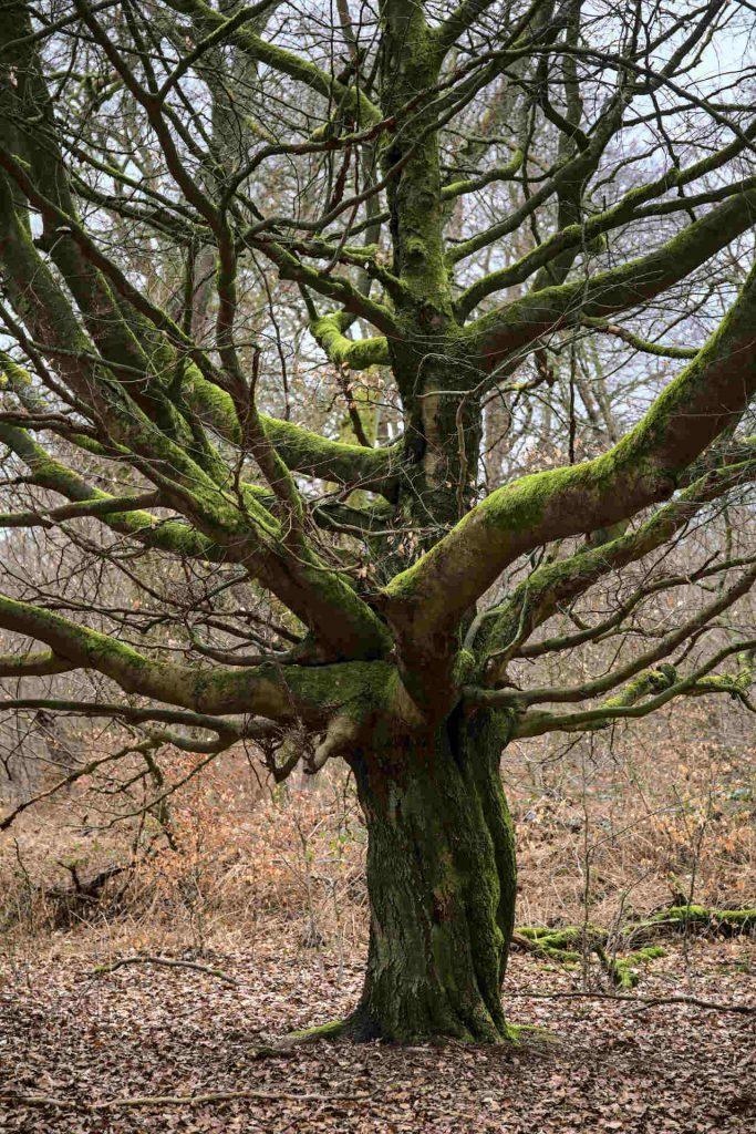 Alter Baum mit Moos