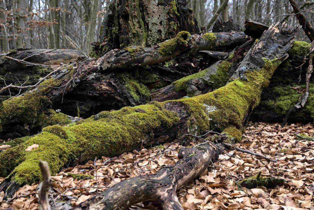 Altes Holz mit Moos