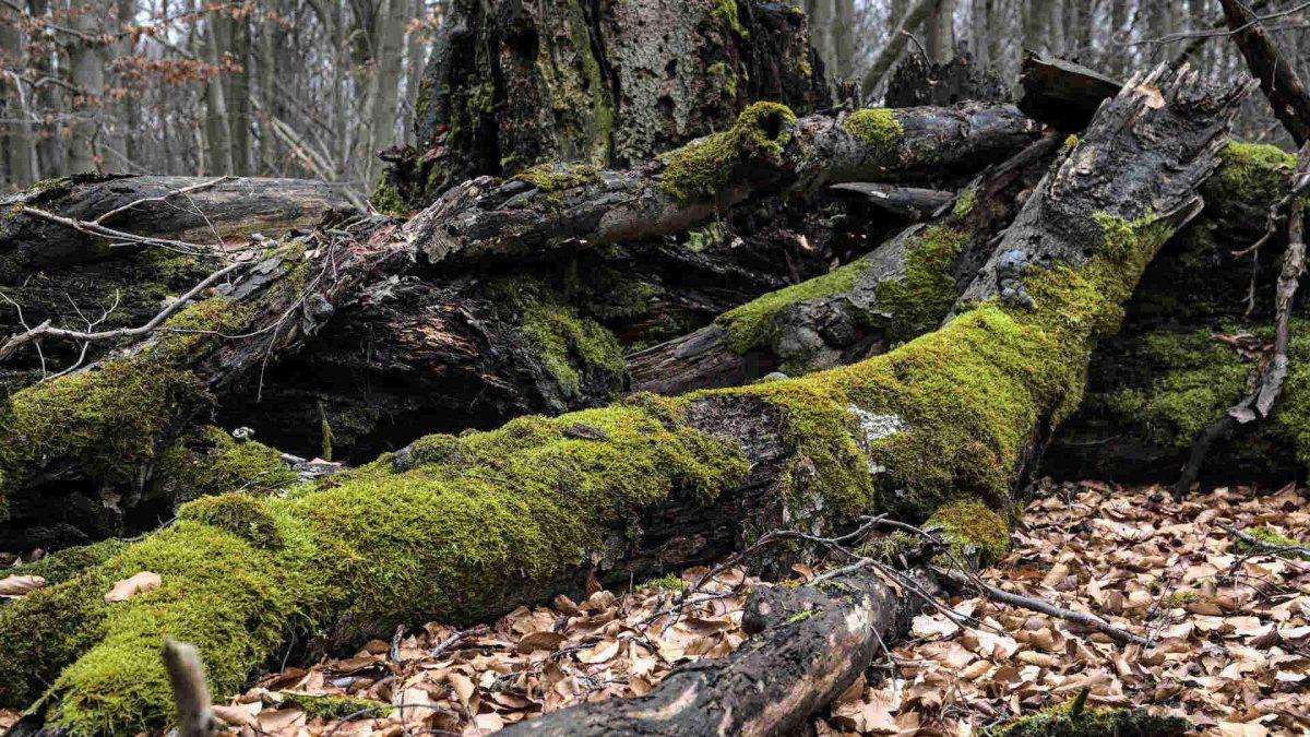 Altes Holz mit Moos 16 zu 9