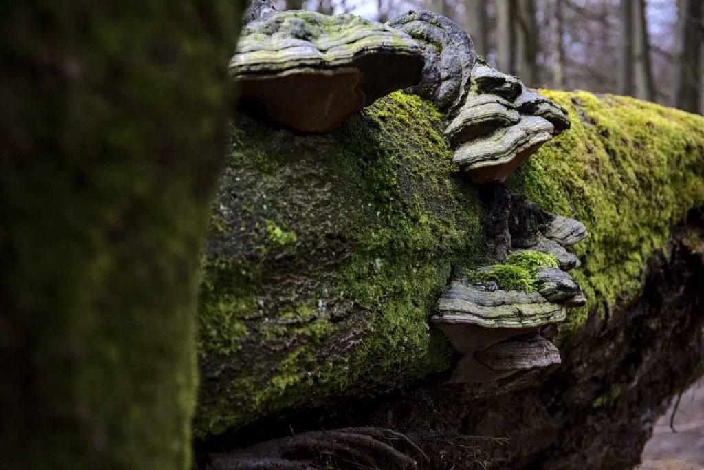 Baumpilze an liegendem Baum mit Moos