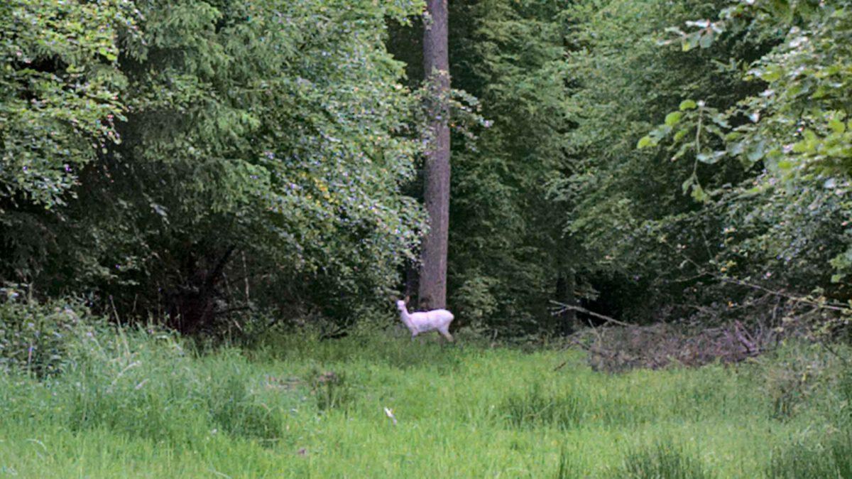 weisses reh im reinhardswald