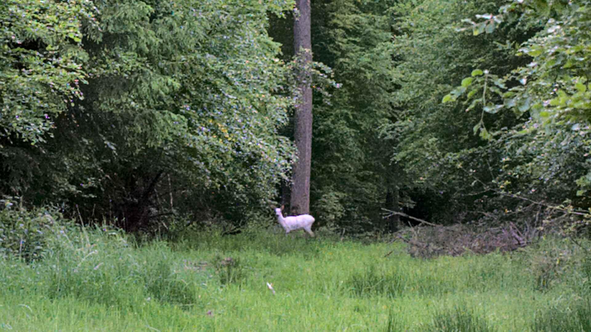 Weiße Rehe im Reinhardswald